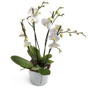 Witte Orchideeën groot